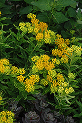 Hello Yellow Milkweed (Asclepias tuberosa 'Hello Yellow') at Canadale Nurseries