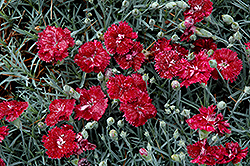 Pomegranate Kiss Pinks (Dianthus 'Pomegranate Kiss') at Canadale Nurseries