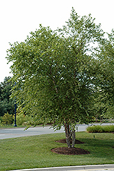 River Birch (clump) (Betula nigra '(clump)') at Canadale Nurseries