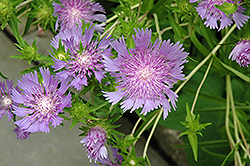 Stoke's Aster (Stokesia laevis) at Canadale Nurseries