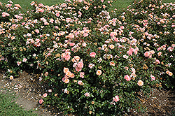 Apricot Drift® Rose (Rosa 'Meimirrote') at Canadale Nurseries