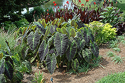 Illustris Elephant Ear (Colocasia esculenta 'Illustris') at Canadale Nurseries