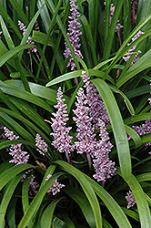 Lily Turf (Liriope muscari) at Canadale Nurseries