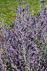 Rocketman Russian Sage (Perovskia atriplicifolia 'Rocketman') at Canadale Nurseries