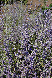 Peek-A-Blue Russian Sage (Perovskia atriplicifolia 'Peek-A-Blue') at Canadale Nurseries