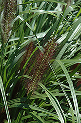 Red Head Fountain Grass (Pennisetum alopecuroides 'Red Head') at Canadale Nurseries