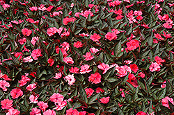 SunPatiens® Compact Deep Rose New Guinea Impatiens (Impatiens 'SunPatiens Compact Deep Rose') at Canadale Nurseries