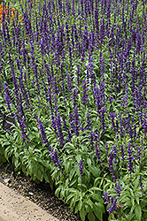 Victoria Blue Salvia (Salvia farinacea 'Victoria Blue') at Canadale Nurseries