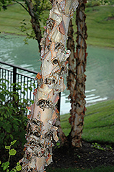 River Birch (Betula nigra) at Canadale Nurseries