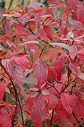 Red Osier Dogwood (Cornus sericea) at Canadale Nurseries