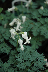 Ivory Hearts Bleeding Heart (Dicentra 'Ivory Hearts') at Canadale Nurseries