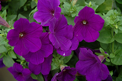 Supertunia® Royal Velvet® Petunia (Petunia 'Supertunia Royal Velvet') at Canadale Nurseries