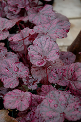 Grape Expectations Coral Bells (Heuchera 'Grape Expectations') at Canadale Nurseries