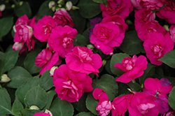 Fiesta Purple Double Impatiens (Impatiens 'Fiesta Purple') at Canadale Nurseries