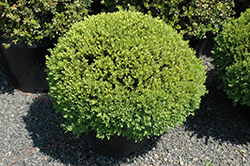 Green Velvet Boxwood (globe form) (Buxus 'Green Velvet (globe)') at Canadale Nurseries