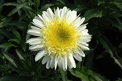 Real Dream Shasta Daisy (Leucanthemum x superbum 'Real Dream') at Canadale Nurseries