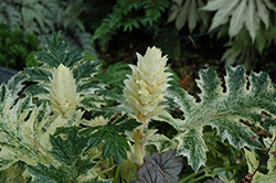 Whitewater Acanthus (Acanthus 'Whitewater') at Canadale Nurseries