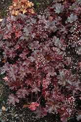 Black Taffeta Coral Bells (Heuchera 'Black Taffeta') at Canadale Nurseries