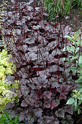 Plum Pudding Coral Bells (Heuchera 'Plum Pudding') at Canadale Nurseries