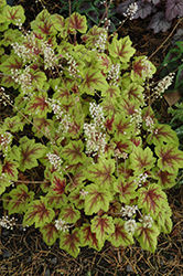 Stoplight Foamy Bells (Heucherella 'Stoplight') at Canadale Nurseries