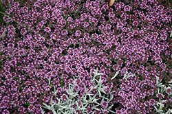 Pink Chintz Creeping Thyme (Thymus praecox 'Pink Chintz') at Canadale Nurseries