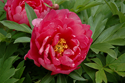 Pink Double Dandy Peony (Paeonia 'Pink Double Dandy') at Canadale Nurseries