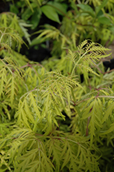 Lemony Lace® Elder (Sambucus racemosa 'SMNSRD4') at Canadale Nurseries