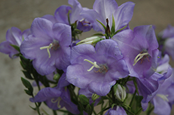 Takion Blue Peachleaf Bellflower (Campanula persicifolia 'Takion Blue') at Canadale Nurseries