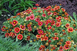 Arizona Red Shades Blanket Flower (Gaillardia x grandiflora 'Arizona Red Shades') at Canadale Nurseries