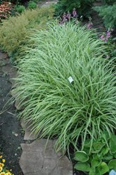 Ice Dance Sedge (Carex morrowii 'Ice Dance') at Canadale Nurseries