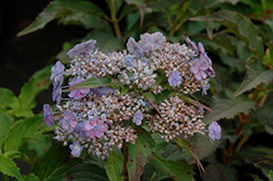 Tiny Tuff Stuff™ Hydrangea (Hydrangea serrata 'MAKD') at Canadale Nurseries
