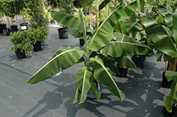 Dwarf Cavendish Banana (Musa 'Dwarf Cavendish') at Canadale Nurseries