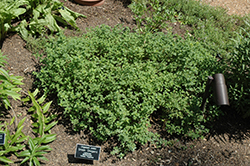 Greek Oregano (Origanum onites) at Canadale Nurseries
