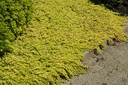 Goldilocks Creeping Jenny (Lysimachia nummularia 'Goldilocks') at Canadale Nurseries
