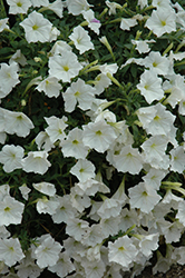 Supertunia® White Petunia (Petunia 'Supertunia White') at Canadale Nurseries