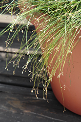 Live Wire Fiber Optic Grass (Isolepis cernua 'Live Wire') at Canadale Nurseries