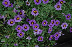 Superbells® Evening Star Calibrachoa (Calibrachoa 'Superbells Evening Star') at Canadale Nurseries