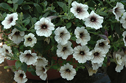 Supertunia® Latte Petunia (Petunia 'Supertunia Latte') at Canadale Nurseries