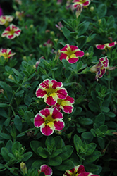 Superbells® Holy Moly! Calibrachoa (Calibrachoa 'Superbells Holy Moly!') at Canadale Nurseries