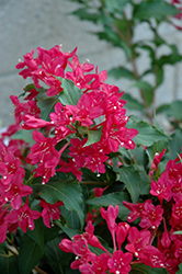 Sonic Bloom Red® Reblooming Weigela (Weigela florida 'Verweig 6') at Canadale Nurseries