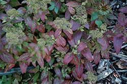 Double Play® Artisan® Spirea (Spiraea japonica 'Galen') at Canadale Nurseries