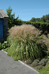 Huron Sunrise Maiden Grass (Miscanthus sinensis 'Huron Sunrise') at Canadale Nurseries