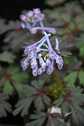 Purple Leaf Corydalis (Corydalis flexuosa 'Purple Leaf') at Canadale Nurseries