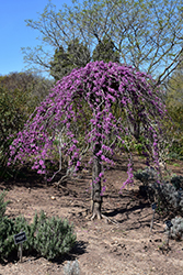 Lavender Twist Redbud (Cercis canadensis 'Covey') at Canadale Nurseries