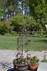 Ruby Falls Redbud (Cercis canadensis 'Ruby Falls') at Canadale Nurseries
