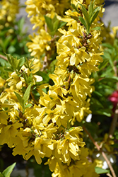Show Off® Starlet Forsythia (Forsythia x intermedia 'Minfor6') at Canadale Nurseries