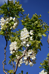Twisted Baby® Black Locust (Robinia pseudoacacia 'Lace Lady') at Canadale Nurseries