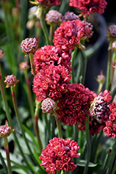 Ballerina Red False Sea Thrift (Armeria pseudarmeria 'Ballerina Red') at Canadale Nurseries