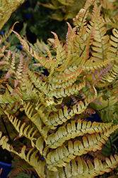 Brilliance Autumn Fern (Dryopteris erythrosora 'Brilliance') at Canadale Nurseries