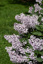 Miss Kim Lilac (Syringa patula 'Miss Kim') at Canadale Nurseries